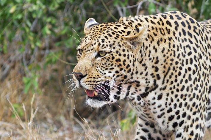 Gros plan sur la tête d'un léopard évoluant dans la brousse