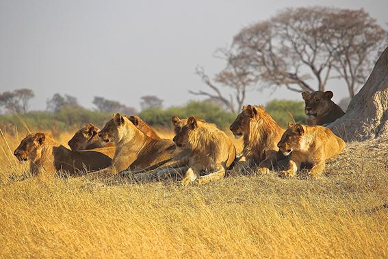 Un groupe de lions assis au pied d'un arbre
