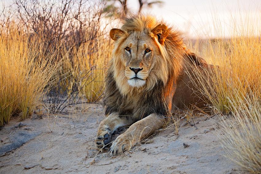 Face caméra, un lion est assis dans le sable et la brousse