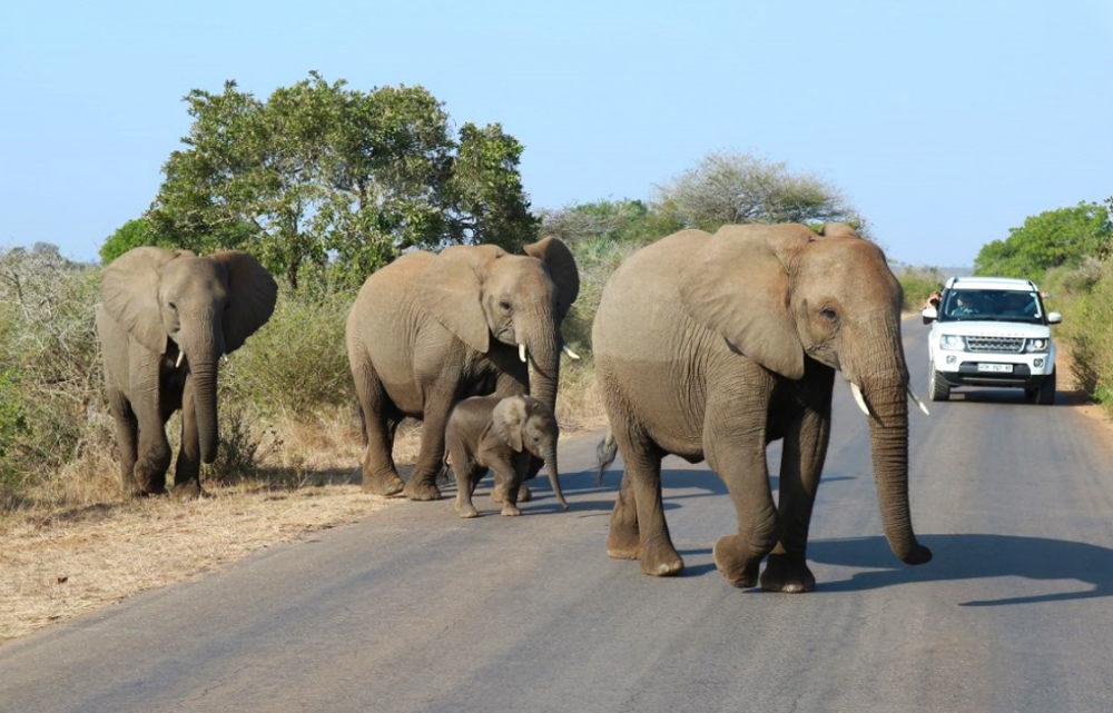 Une voiture roule alors qu'un troupeau d'éléphants traverse