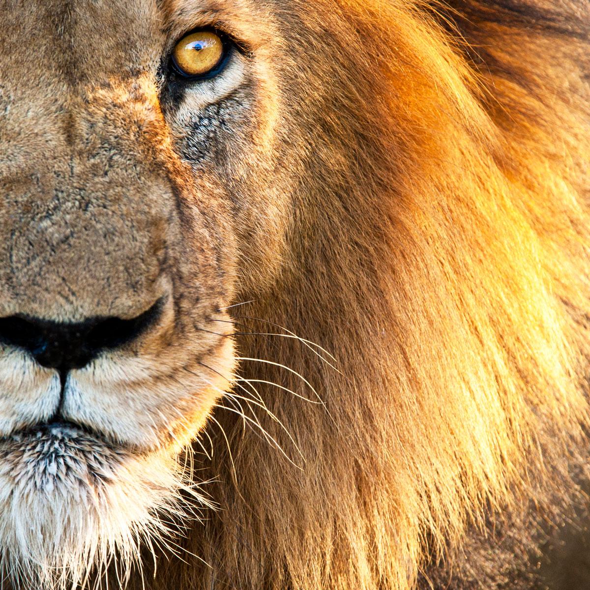 Gros plan sur le visage d'un lion au regard perçant