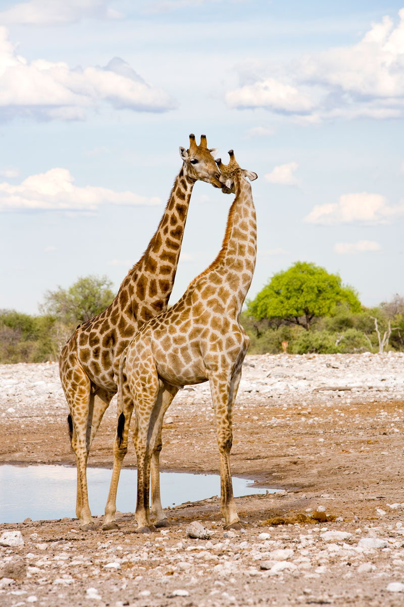 Deux girafes se câlinent au bord d'un point d'eau en pleine savane