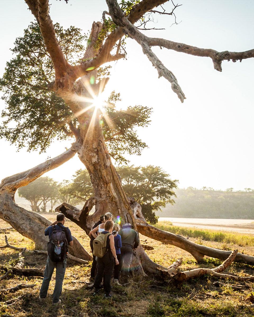 Des personnes en safari à pied suivent le ranger au pied d'un arbre