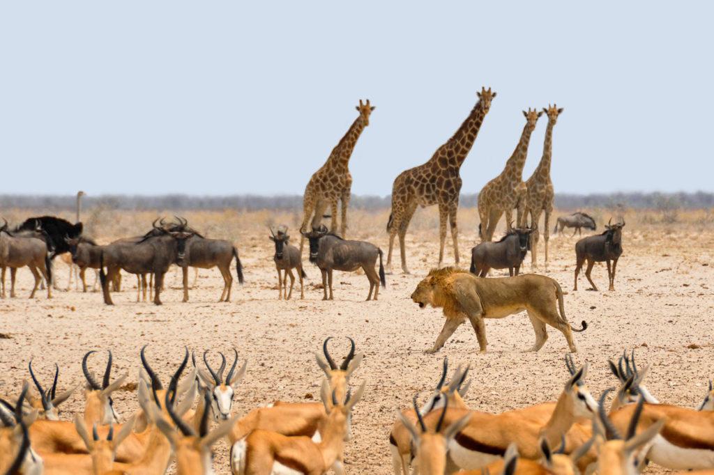 Troupeau d'impalas, gnous, autruches, girafes et lion évoluent à Etosha