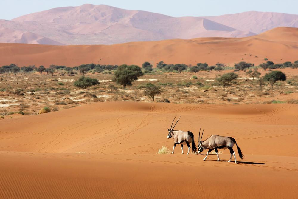 Deux oryx marchent sur le sable ocre du désert du Namib
