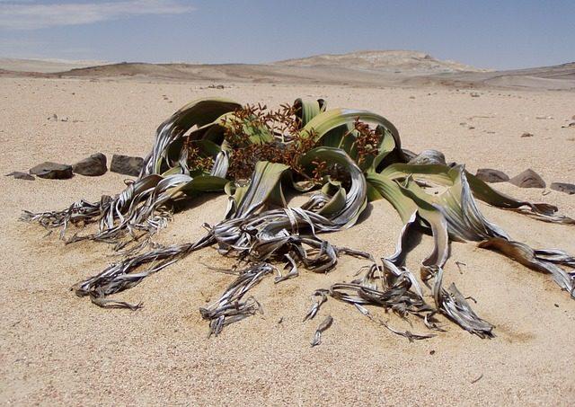 Gros plan sur la plante endémique du Namib : la Welwitschias Mirabilis