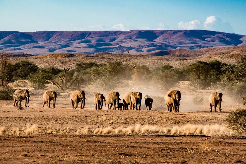 Un troupeau d'éléphants du désert évolue dans un environnement hostile