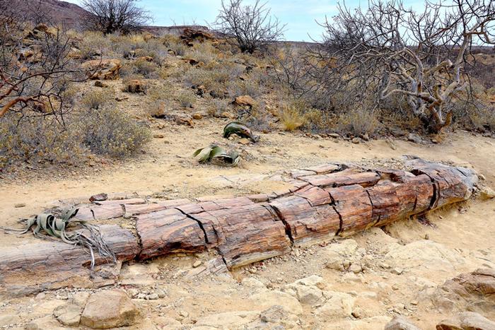 Tronc d'un arbre pétrifié à l'allure d'un caillou gît sur le sol