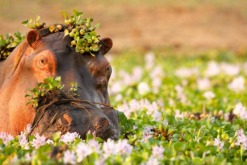 La tête hors de l'eau d'un hyppopotame, recouvert de fleurs blanches et de verdure