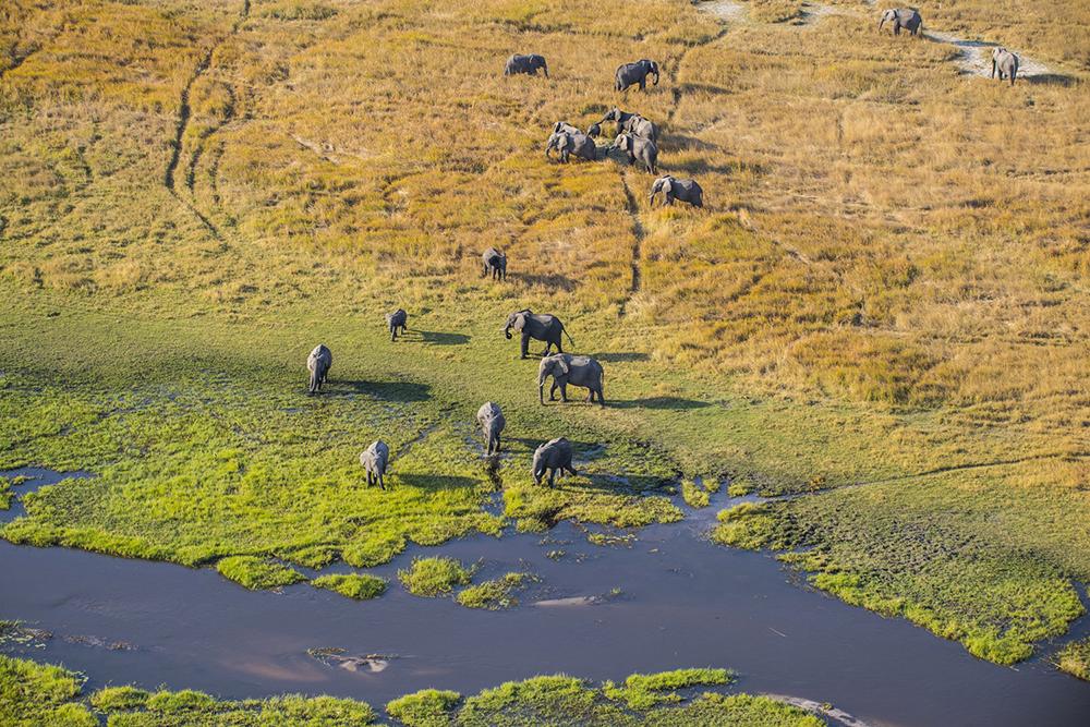 Vue du ciel, un troupeau d'éléphants sillonne les vertes prairies du Delta