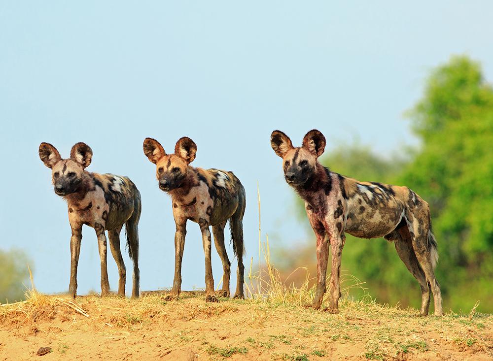 Aux aguets, trois wild dogs scrutent l'horizon