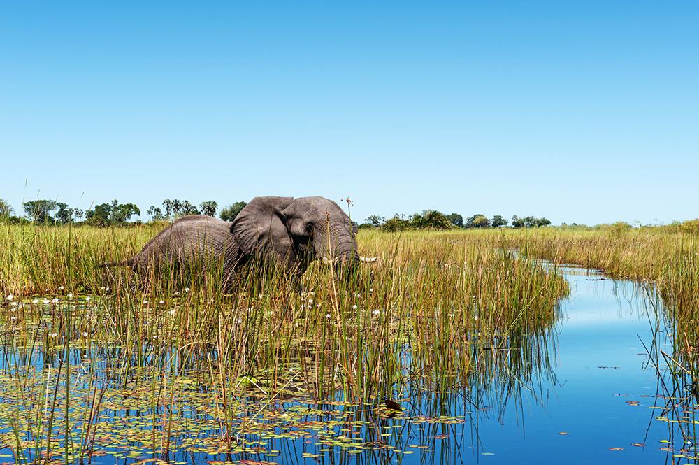 A moitié immergé dans l'eau, un pachyderme évolue dans les eaux et la flore du delta