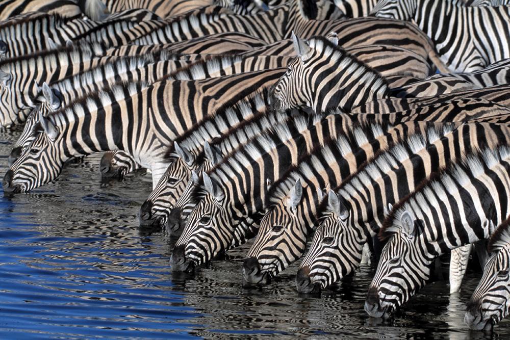 En train de s'abreuver, zoom sur un troupeau de zèbres collés les uns aux autres