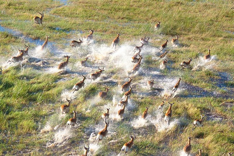 Un troupeau d'impalas court dans les plaine gorgée d'eau de l'Okavango