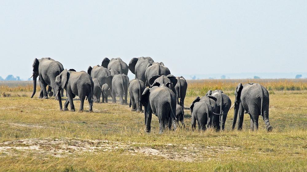 De dos, une grande famille d'éléphants s'en va, évoluant en brousse