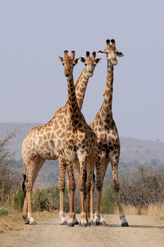 Face caméra, trois girafes debout évoluent dans la brousse