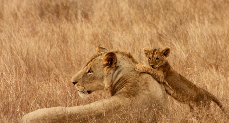Une lionne est allongée avec sur elle son lionceau en train de jouer