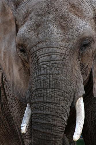 Zoom sur la tête d'un éléphant, l'un des big 5 observable en safari