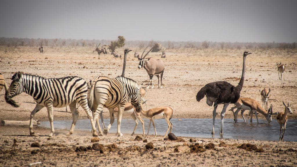 Les animaux s'abreuvent à un point d'eau du pan asséché d'Etosha