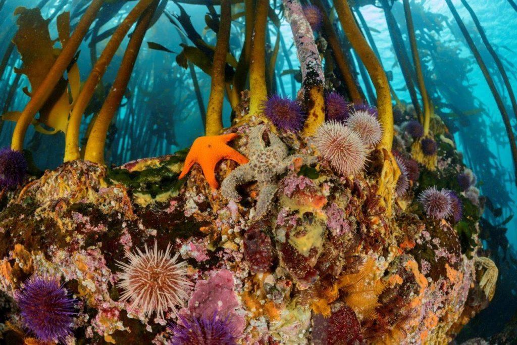 Racines des forets de kelp qui attirent une biodiversité importante