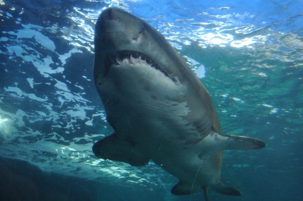 Dans l'eau et proche de la surface, vue de dessous d'un requin blanc