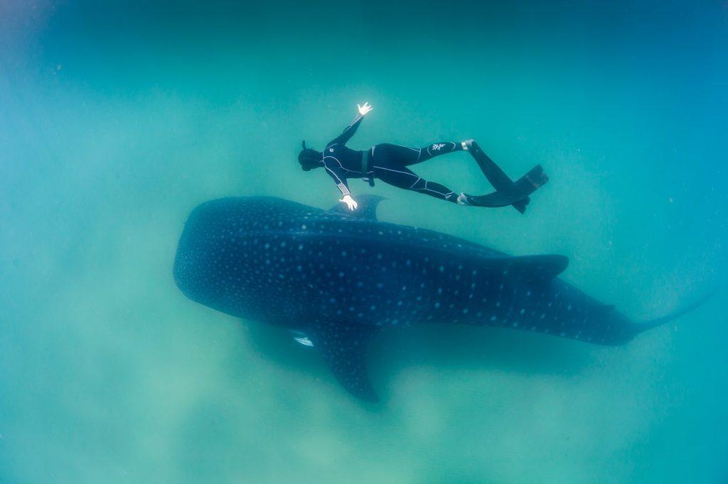 Un plongeur évolue à côté d'un requin baleine à Sodwana Bay
