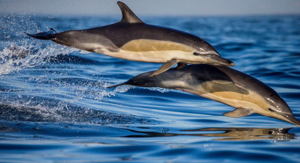 Deux dauphins se chevauchent en sautant dans l'océan