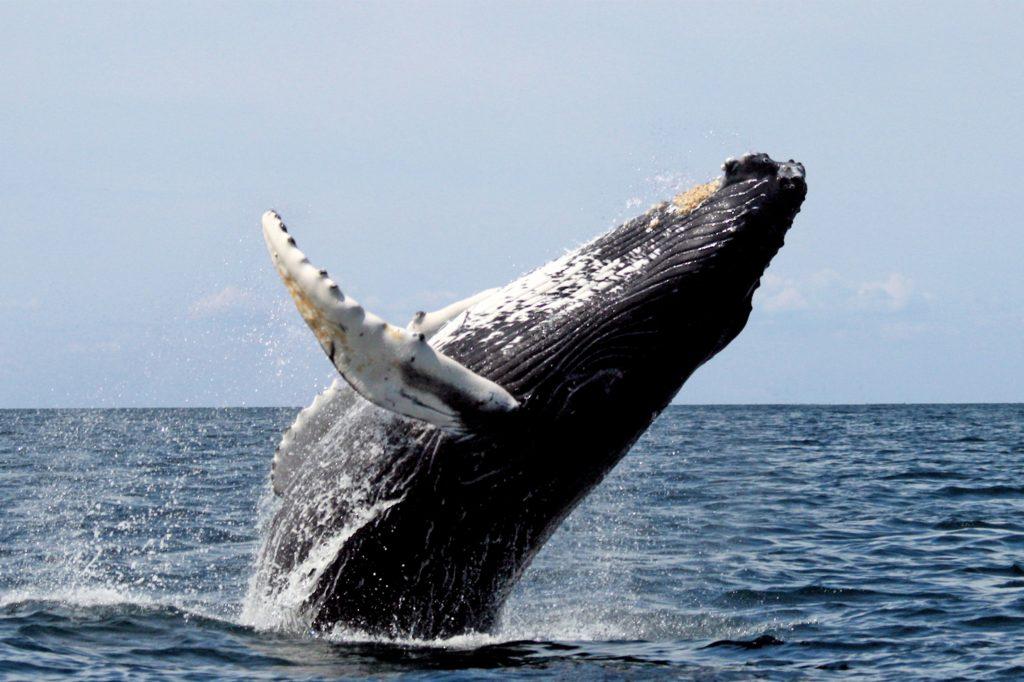 Une baleine franche en plein saut dans les eaux sud-africaines
