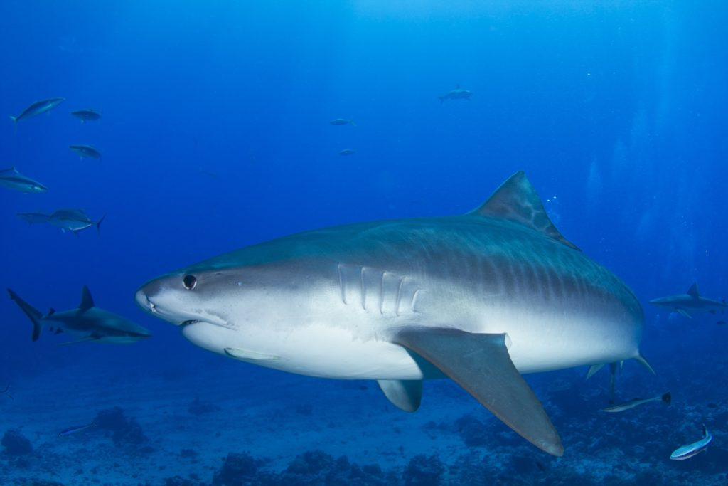 Gros plan de profil sur un requin tigre nageant dans l'océan