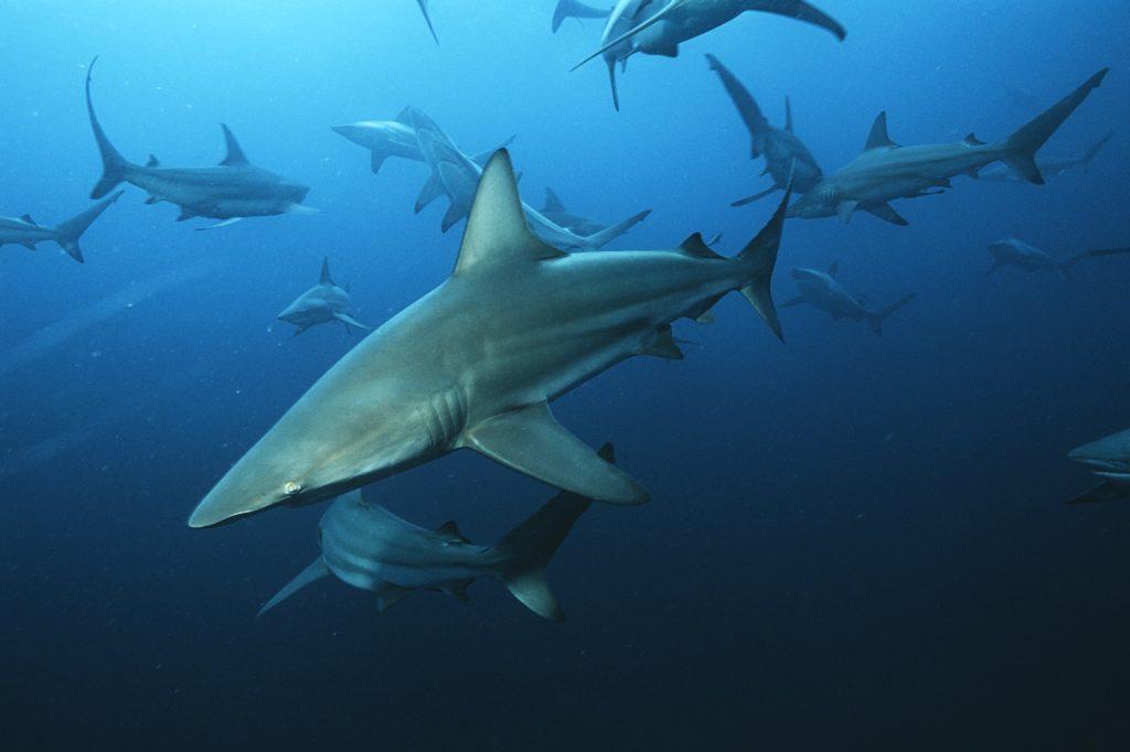 Un groupe de requins nagent dans les eaux d'Afrique du Sud