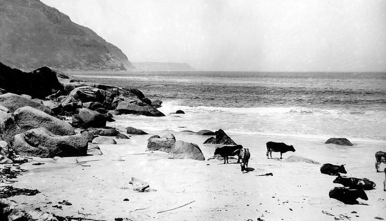 Photo d'archive d'Hout Bay où des vaches évoluent sur la plage