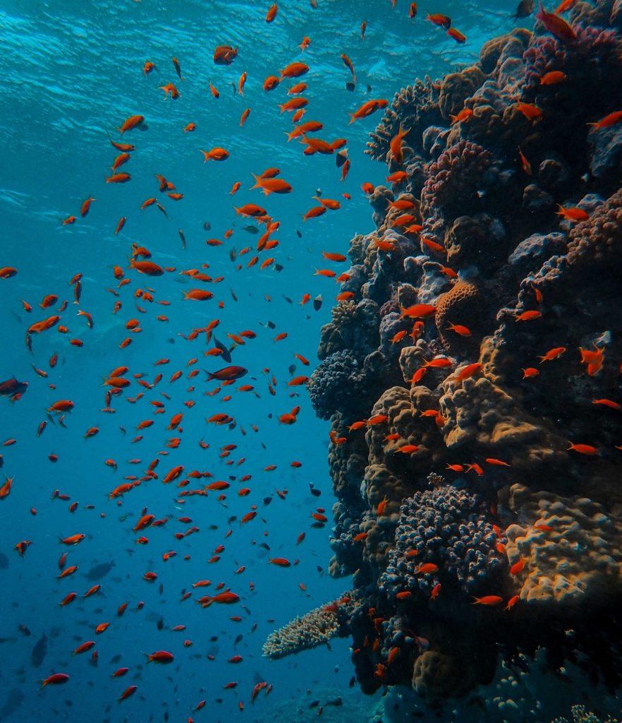 Un banc de poissons oranges évolue dans les coraux du Mozambique