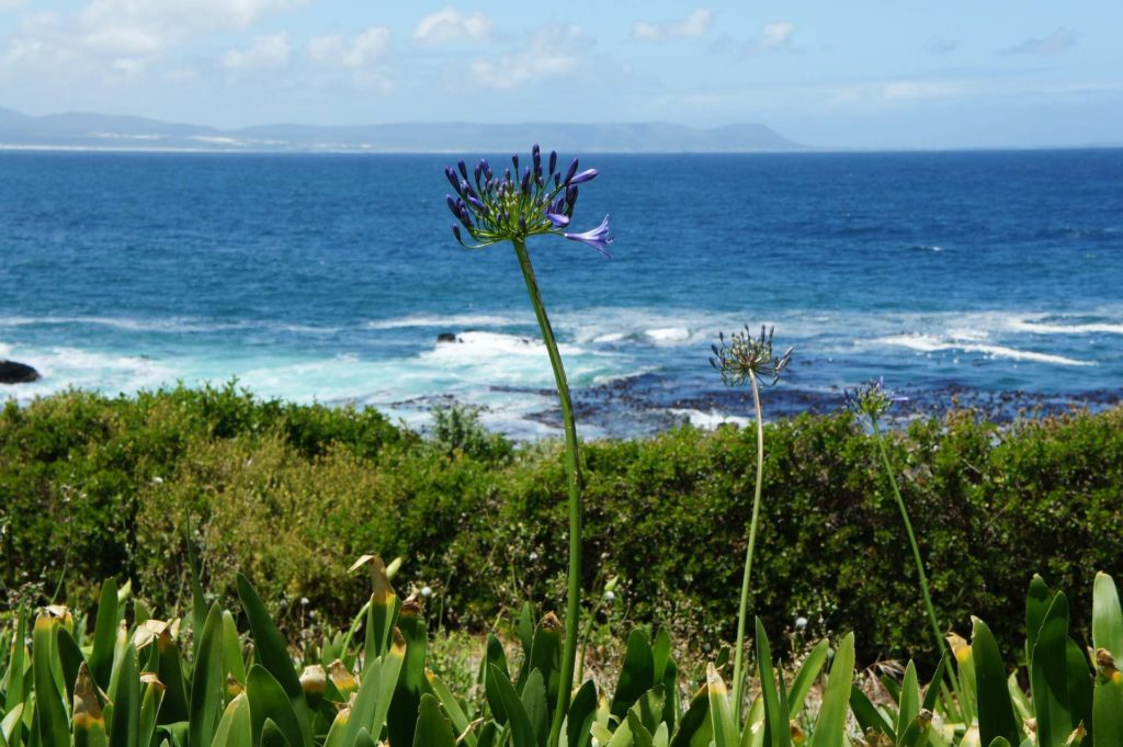 Vue sur littoral depuis le rivage de fynbos et fleuris d'Hermanus