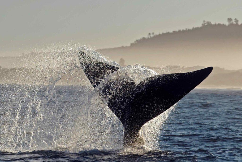 La queue d'une baleine franche dépasse de l'océan
