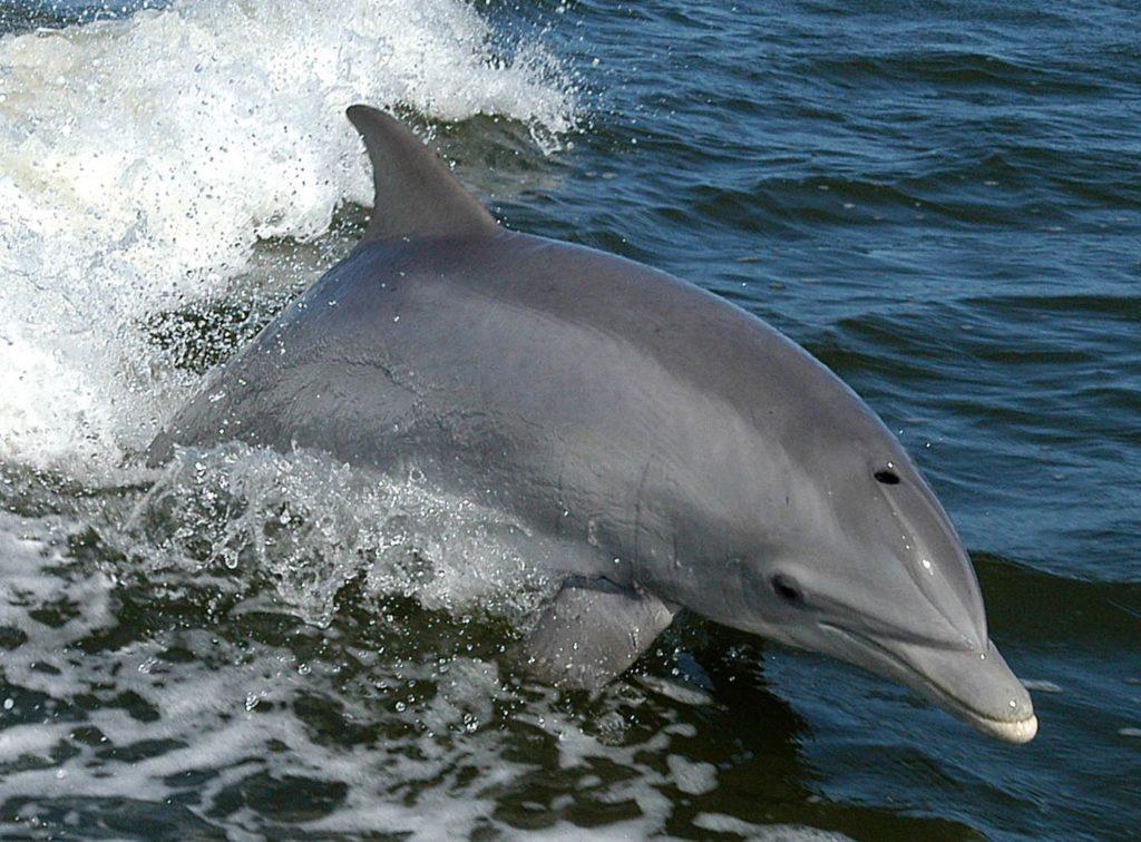 Gros plan sur un grand dauphin en train en train de suivre un bateau