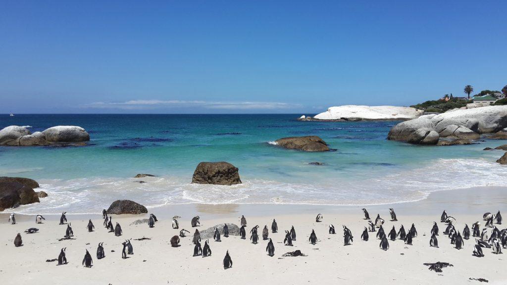 Une colonie de manchots sur la plage paradisiaque de boulders beach