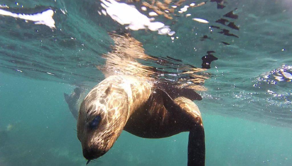Gros plan sur la tête d'une otarie sous l'eau proche de la surface