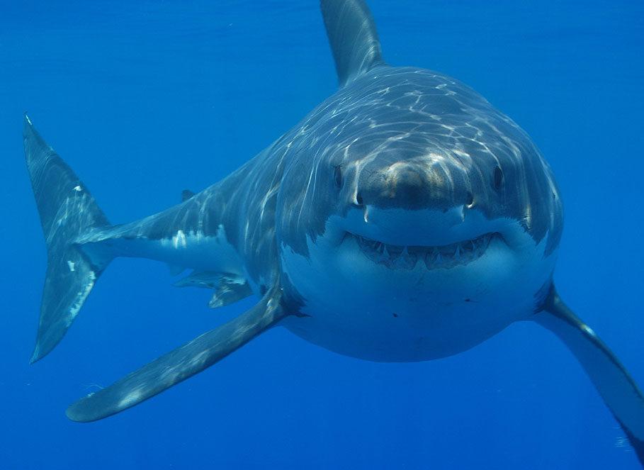 Image passeport du requin blanc comprenant ses informations d'identité