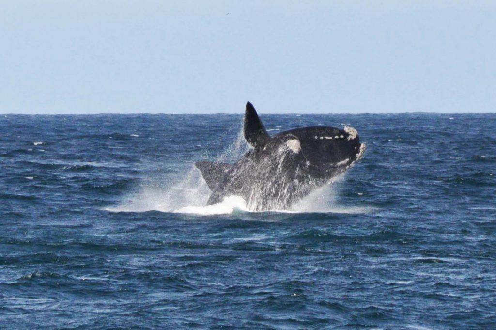 Une baleine franche australe en train de sauter hors de l'eau