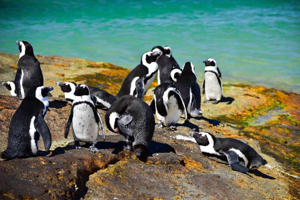Des manchots du Cap sont sur un rocher avec en fond une eau turquoise